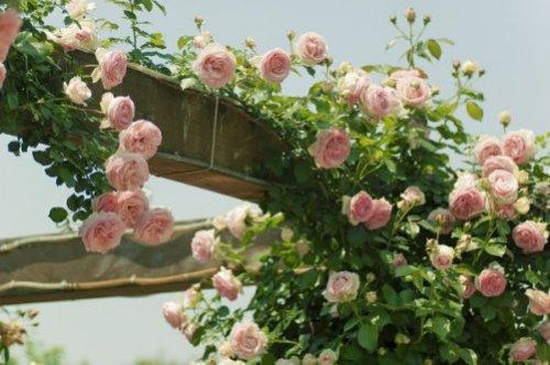 记忆深处的蔷薇花